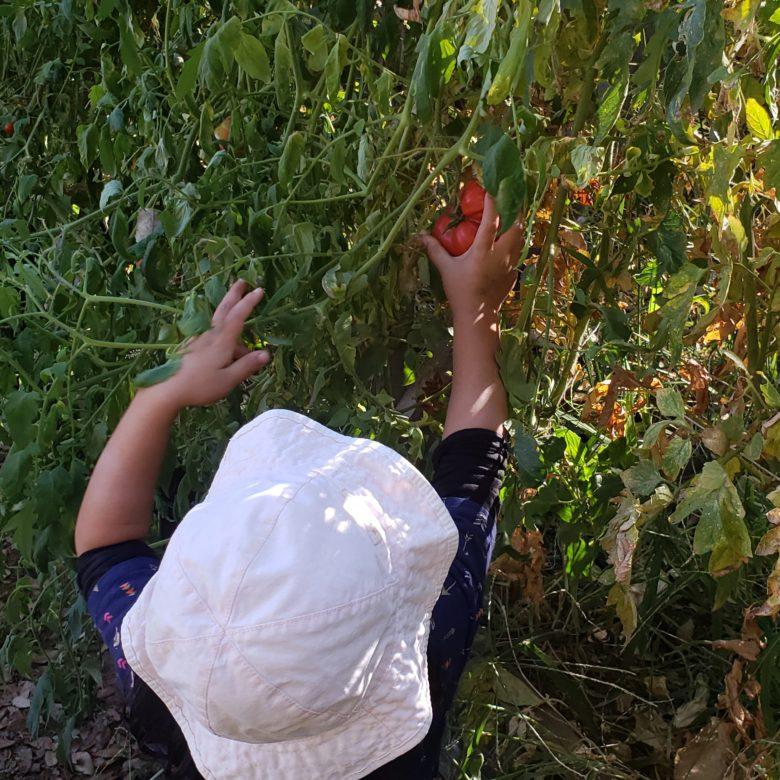 Harvesting Garden Tomatoes